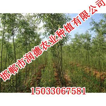 速生柳首选邯郸润德农业15033067581