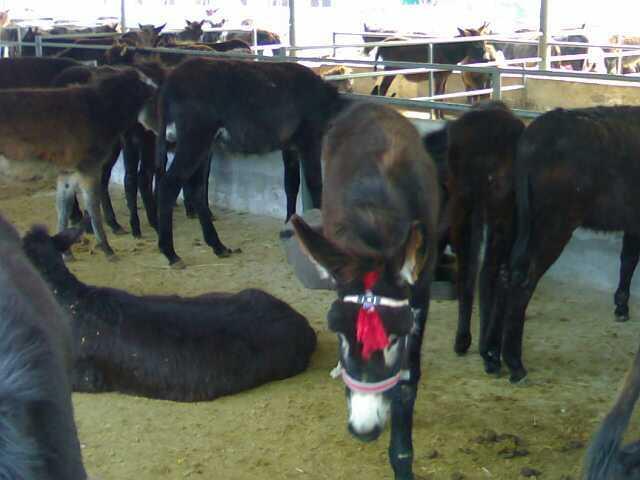 东营大型驴养殖场销售小驴驹肉