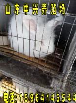 保山长毛兔养殖技术和长毛兔视频保山长毛兔种兔多少钱一只
