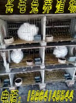 常熟长毛兔报价长毛兔新价位常熟养长毛兔喂什么饲料