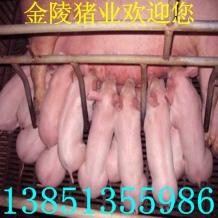 西宁哪里有养猪场西宁哪里有大约克猪免费送货提供养殖技术