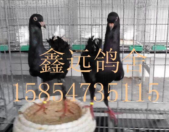 山东鑫远鸽业