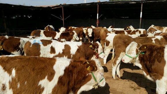 东北吉林黄牛畜牧交易市场 北方肉牛畜牧交易市场价格 畜牧市场经济人 畜牧交易市场合作社