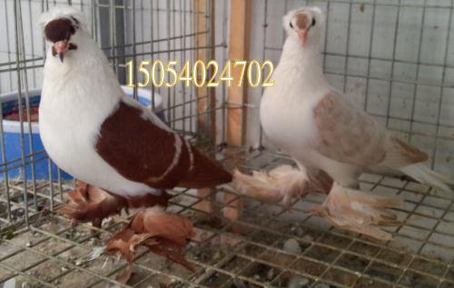观赏鸽肉鸽品种