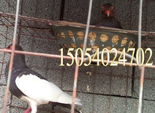 常年对外出售鼓手鸽信鸽肉鸽