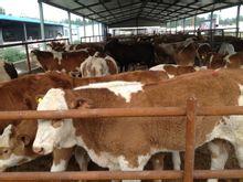 咸阳哪儿出售育肥肉牛犊养育肥牛犊到哪儿买牛