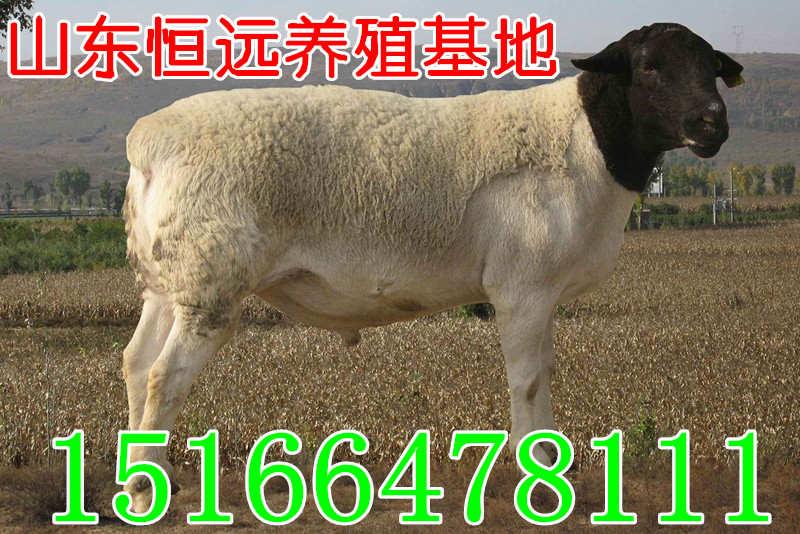 京山县绵羊价格