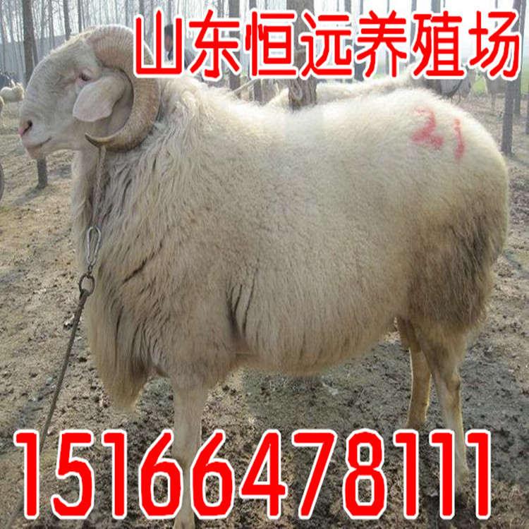 阜新蒙古族自治县杜波绵羊价格
