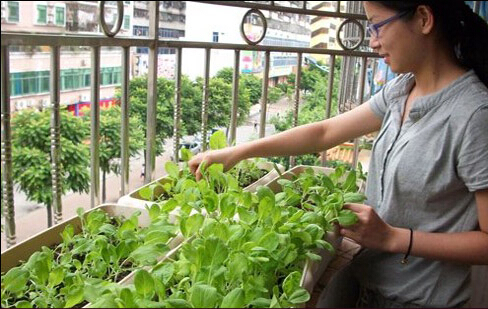 打造生态屋顶阳台菜园,阳台菜园实景图