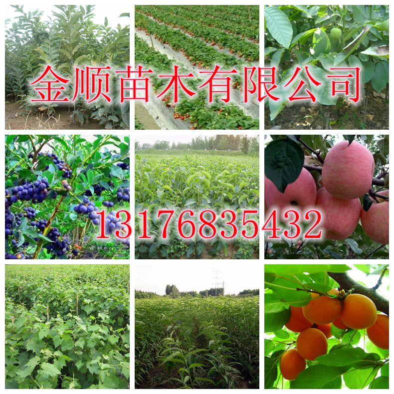 哪里能买到优质核桃树苗核桃树苗种植基地13176835432