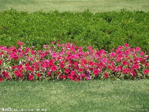 、盆景等。常年销售各种时令草花,绿化苗木等,欢迎各界朋友光临指导。 我们的花卉有100多个品种,质量上乘,种类丰富,是您购花、赏花的理想选择,主要经营节日用各种优质草花、花坛花、时令花,各类盆花、年销花,绿化苗木、宿根地被,并承接各类草花租摆、购销配送业务和各种花卉工程。 草花系列:矮牵牛、三色堇、一串红、万寿菊、彩叶草、石竹、鸡冠花、百日草、金盏菊、翠菊、醡浆草、太阳花 、国庆菊、羽衣甘蓝、月季、美人蕉、孔雀草、四季海棠、垂吊牵牛、金娃娃萱草、金鸡菊、荷兰菊金叶薯、玉带草、白玉簪、品种月季、夏堇、长春花
