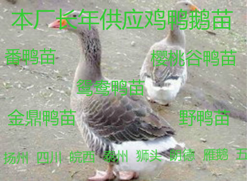 济宁市皖西白鹅苗多少钱一只杂交鹅苗