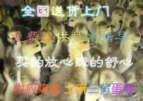 山东济宁市皖西白鹅苗多少钱一只杂交鹅苗