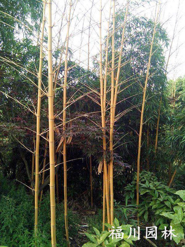 销售黄金竹、口碑好的黄金竹在哪里有供应