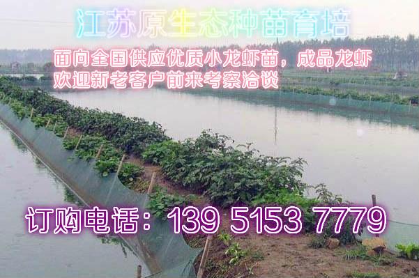 大龙虾多少钱一斤石门龙虾报价