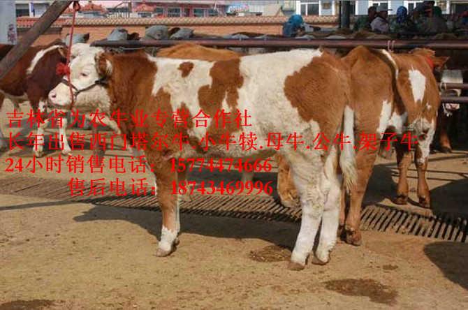 天津吉林养殖合作社西门塔尔养殖场4代牛