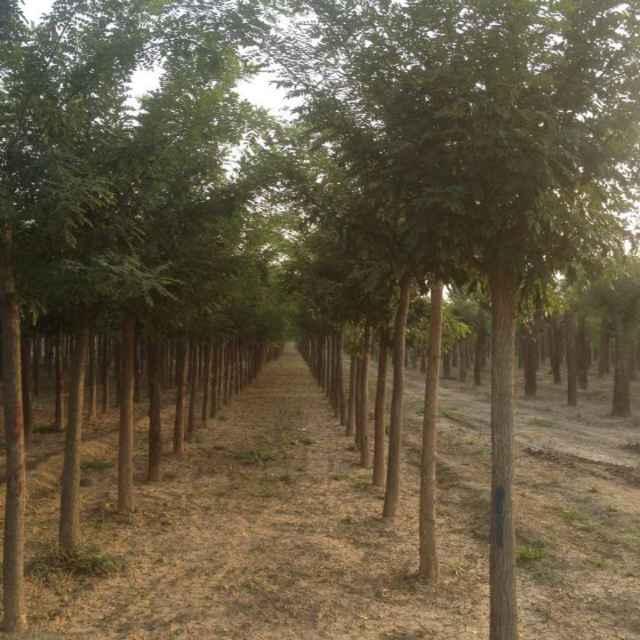文安县合欢树8公分文安县环保状况