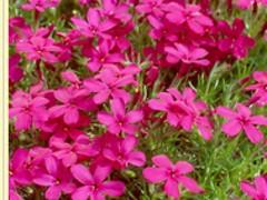 宿根福禄考价位想买优质的宿根福禄考、就到树春花卉苗木社