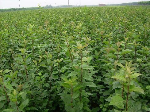 核桃树苗基地:想要品质好的核桃树就来泰山诚信园林