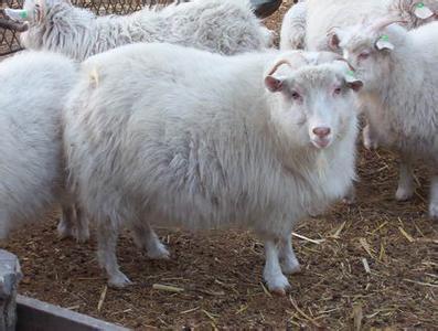 哪里有绒山羊卖