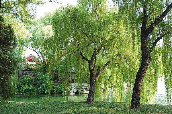 柳树苗木基地 供应园林垂柳 绿化柳树 优质垂柳采购