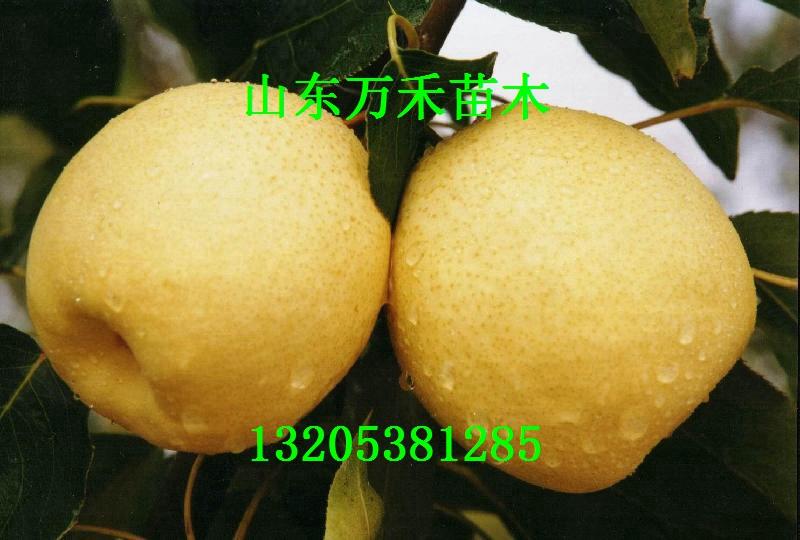 美早酥梨苗