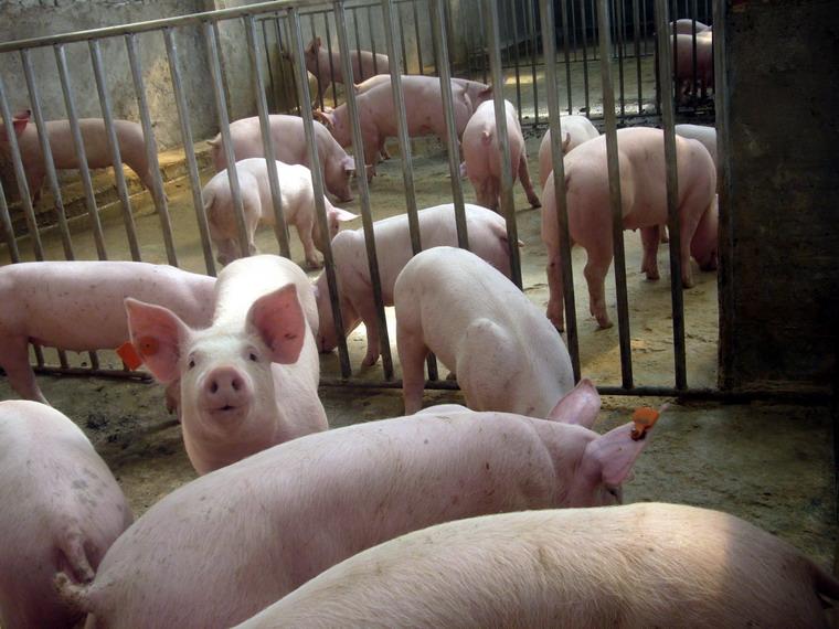 苏北大生猪养殖基地、小猪、仔猪、苗猪、供应各个品种规格的小猪、提供养殖技术包运输