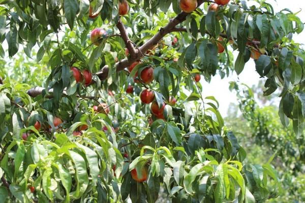 映霜红桃苗当选丰源果树种苗合作社映霜红桃苗供应