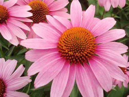 宿根花卉-松果菊