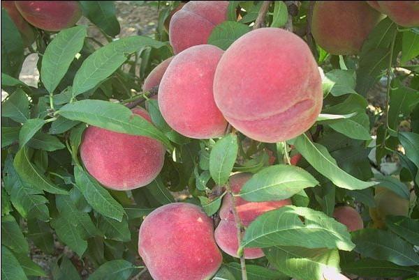 信诚果树苗木优惠的映霜红桃苗供应 映霜红
