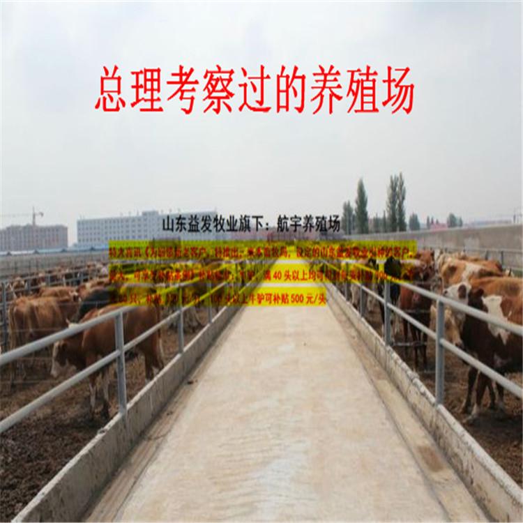 纯种肉牛公牛多少钱一头哪里的杜泊绵羊价格低