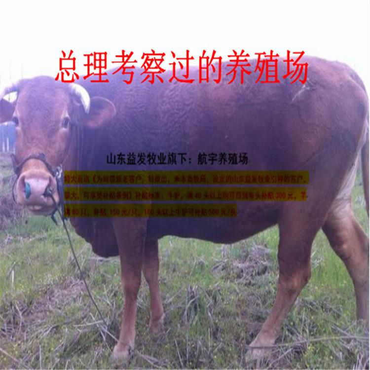 迭部哪里出售小肉牛