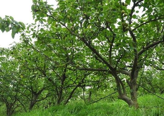 易种植的梨树苗想要品质好的梨树苗就来崇家果树苗木