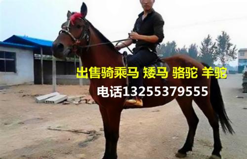 上海省崇明县出租萌宠观赏动物双峰骆驼租赁青青草网站