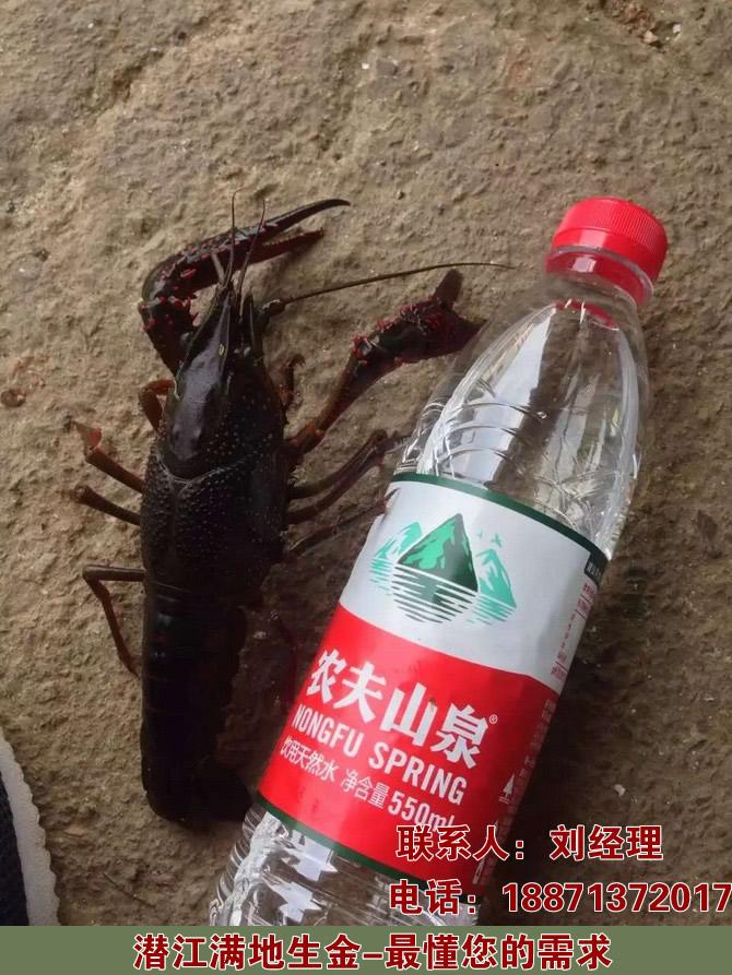 江苏盱眙小龙虾龙虾品种龙虾的价格是多少钱一公斤