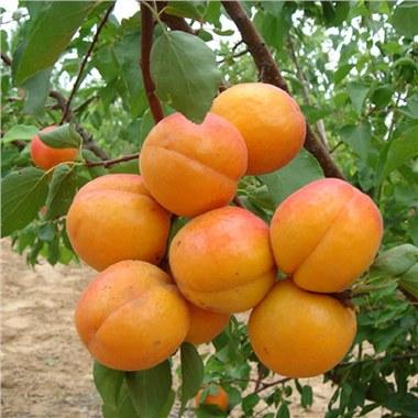 高产量杏树苗嫁接恐龙蛋杏树苗