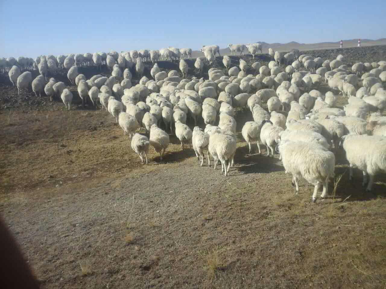 出售大量乌珠穆沁草原粗放的羊13694765418