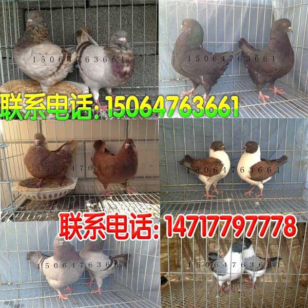 安徽观赏鸽子货源价格如何鞍山