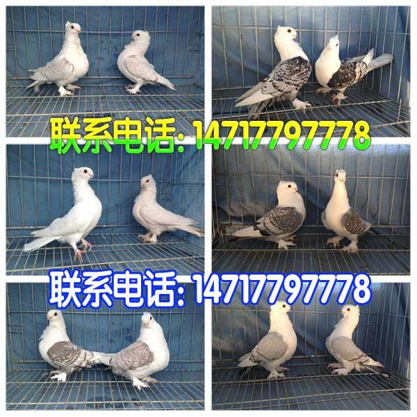 山东观赏鸽养殖鸡西