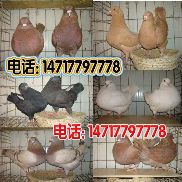 辛集市元宝鸽养殖公司、天津鸽子赶集网白毛脚