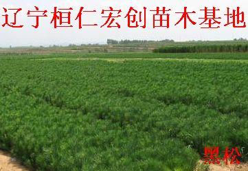 黑松苗、红松小苗、黑松基地、黑松1.5米树、黑松大树