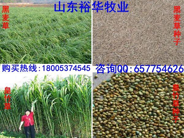 优质皇竹草种子多少钱 批发牧草种子