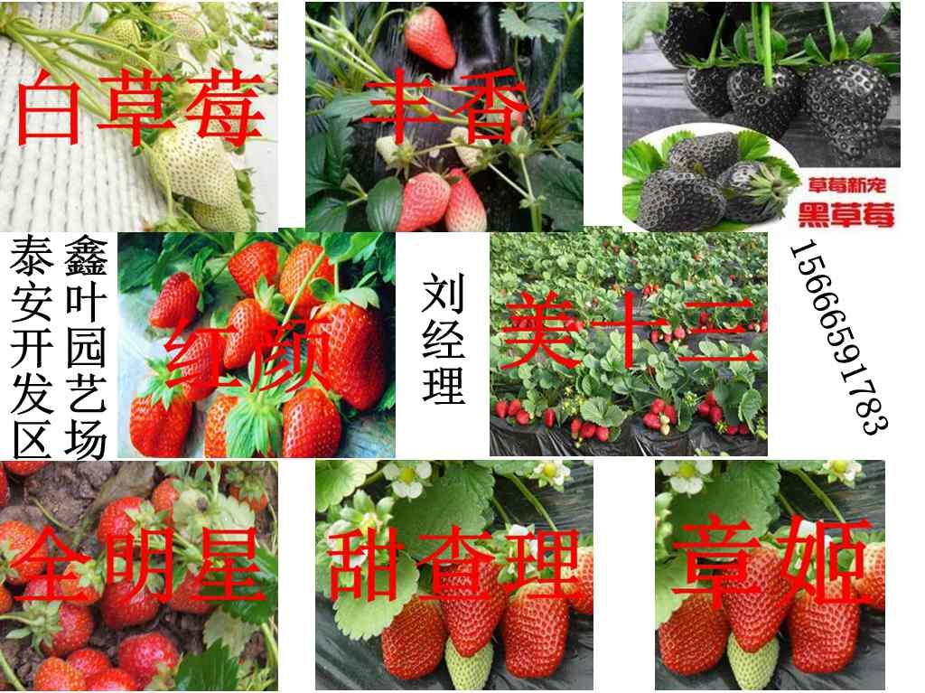 丹东牛奶草莓苗种植基地