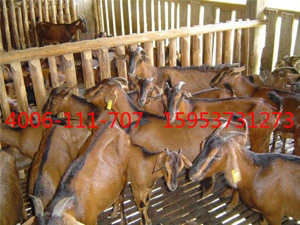 杂多县肉羊羊羔全国免费送货