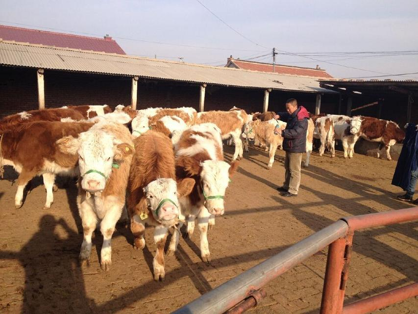 吉林育肥牛犊价格 吉林育肥牛价格 吉林牛犊价格 吉林牛犊育肥行情 北方育肥牛犊价格 北方肉牛犊价格