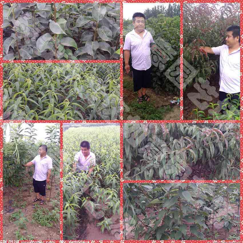 岳阳哪里有映霜红桃苗黄冠梨苗便宜货源地富有甜柿苗