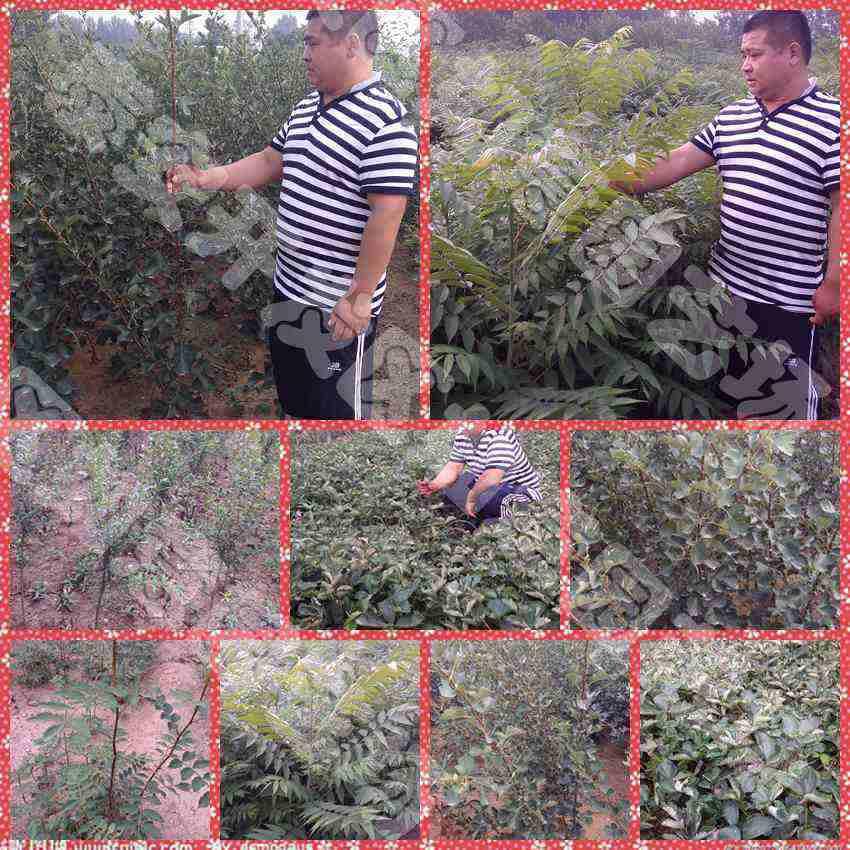早酥红梨苗哪里有桃苗价格低无核甜柿甜柿苗育苗基地灿烂蓝莓苗批发15552849000