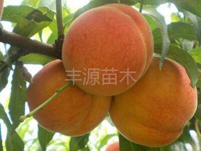 丰源果树种苗合作社优质黄金蜜1号桃苗供应商、黄桃苗供应