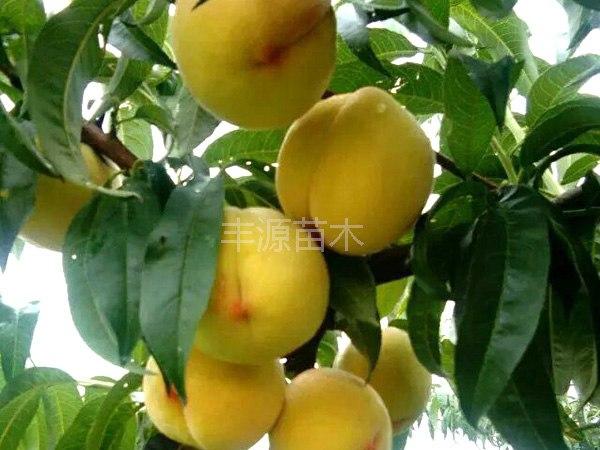 龙井桃苗供应想要龙井桃苗就来丰源果树种苗合作社