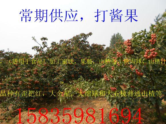 大金星山楂苗、大五棱山楂苗、1米山楂苗、早熟山楂苗、山楂树苗